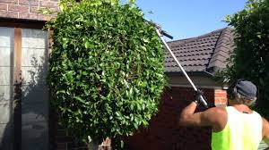 hedge trimming making them round balls gardening hedge master is showing  you how to - YouTube