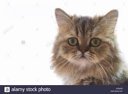 Süße Chinchilla Perser Kätzchen Katze Warten Und Suchen Für Die
