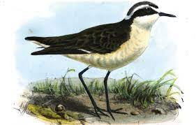The Wirebird | Saint Helena Island Info: All about St Helena, in the South  Atlantic Ocean
