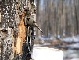 Image result for maple syrup coming out of tree