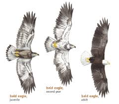 Bald Eagle Age Chart How To Identify Bald Eagles Young And Old Bird Watchers