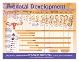 Pregnancy Development Chart Week By Week Baby Development Chart Week By Week In Womb Www