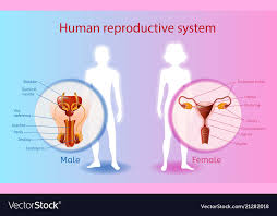 Female Reproductive Chart Human Reproductive System Scientific Chart