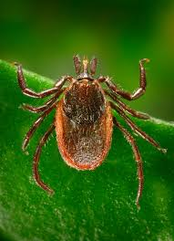 Cdc Tick Identification Chart Tick Aware Get A Free Tick Identification Card Natureoutside