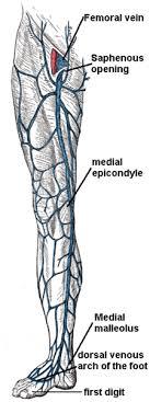 Leg Vein Chart Leg Veins Thigh Lower Leg Anatomy Pictures And Names