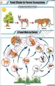 Food Chain In Forest Ecosystem For General Chart