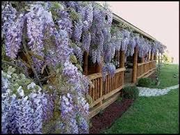 Honeysuckle Lonicera Japonica U0027Darts Worldu0027 Spring Through To Climbing Plants Texas