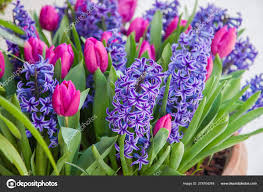 blooming tulips and hyacinth in flower