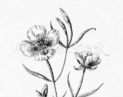 Lilac Botanical Drawing At Getdrawingscom Free For Personal Use
