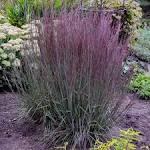 Image result for purple ornamental grasses