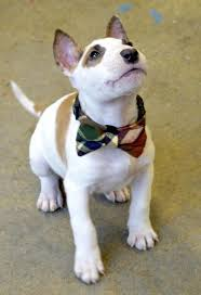 miniature bull terrier mix. Simple Mix Marv The Miniature Bull TerrierSo Handsome With His Little Bowtiesuch A  Dapper Gentleman With Terrier Mix N