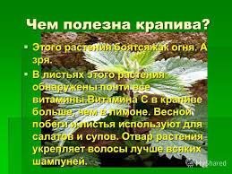 Презентация на тему Лесная аптека Урок по окружающему миру  7 Чем полезна крапива