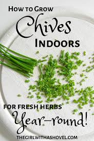 how to grow your chives indoors