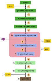 Glycolysis 10 Steps New Biochemistry Metabolism Flashcards