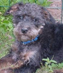 black terrier mix. Delighful Terrier Black And Tan Terrier Intended Terrier Mix