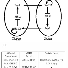 A. Gene interaction in the AC/VU decision. The interaction between... |  Download Scientific Diagram
