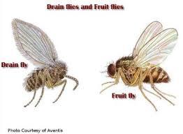 Get Rid Of Drain Flies PsychodidaeSmall Flies Around Kitchen Sink