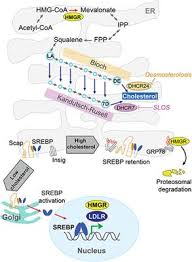 Frontiers Intracellular Cholesterol Trafficking And Impact