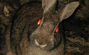 31 Night Animals With Glowing Eyes Red Yellow Etc With