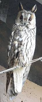 plucked owl.  Owl The Family Strigidae Typical Owls Or True Owl Intended Plucked Owl
