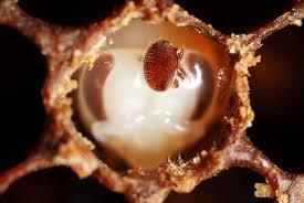 The Amazing Life Of The Varroa Mite Perfectbee