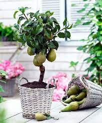 potted trees dwarf fruit trees