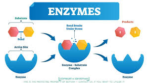 Enzymes Are Proteins A Definitive Guide Of 4000 Words