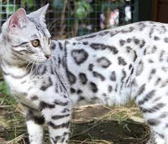 snow bengal cat. Unique Snow We Breed Quality Kittens In Snow Leopard Prints  Inside Snow Bengal Cat