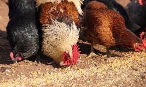 Image result for chicken feed