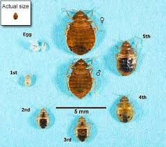 images of bed bugs actual size