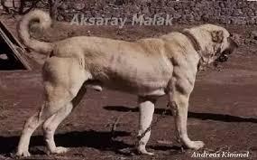 pitbull dog vs wolf. Fine Pitbull This Is The Aksaray Malakli Dogu2026 To Pitbull Dog Vs Wolf B
