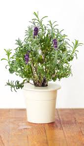 It's time to sleep better with zero effort - Lavender Refill for Smart Herb  Garden is