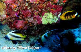 Heniochus diphreules pesce farfalla dal vessillo longfin