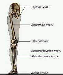 нижней конечности строение и соединения костей таза Скелет нижней конечности строение и соединения костей таза