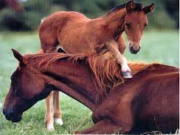 baby horses playing. Contemporary Baby Baby Horses Playing  Photo7 With Horses Playing Y