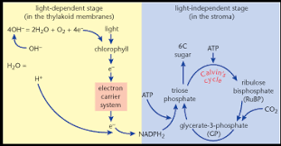 Light Dependent Reactions Flow Chart Google Search