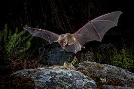 Image result for bat hunting