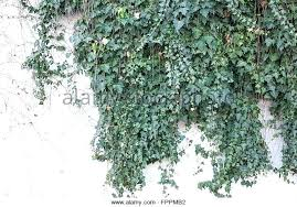 vines on wall vine wall green vines on white stucco wall stock image monkey vine wall vines on wall