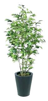 ficus tree care plant in planter rubber outdoor potted leaves turning yellow the big banyan tre