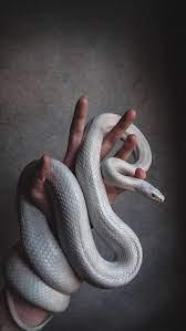 Snake, danger, large snake, white snake ...