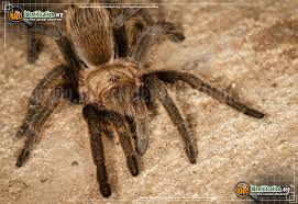 Texas Brown Tarantula Insect Identification