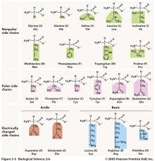 functional groups chart codon charts amino acids ap biology