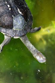 turtle eastern long necked1