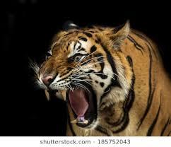 tiger roar side view. Plain Roar Sumatran Tiger Roaring For Roar Side View M