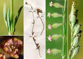 Silene bellidifolia Jacq. - Portale della Flora di Roma