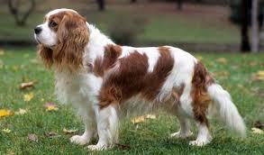 cavalier king charles spaniel full grown. Plain Spaniel Cavalier King Charles Spaniel Dog Breed In Full Grown E