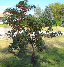 Starkrimson Sweet Cherry  Cherry Trees  Stark Brou0027sCherry Fruit Tree Care