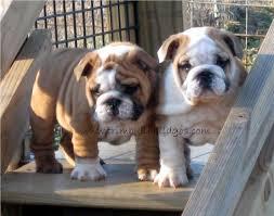 english bulldog puppies sired by our chion english bulldog stud service