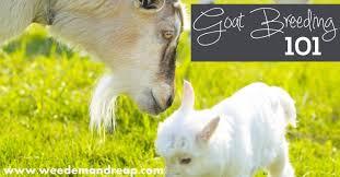 Goat Breeding 101 Weedem Reap