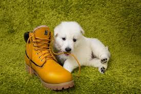 dog chewing boot